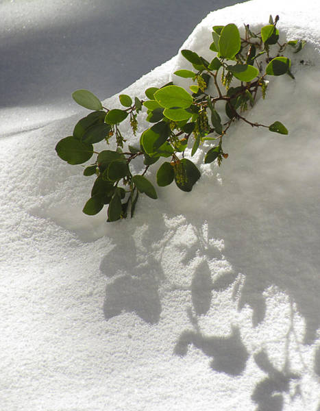 Photograph - Snowy Manzanita 2 by Tony and Kristi Middleton
