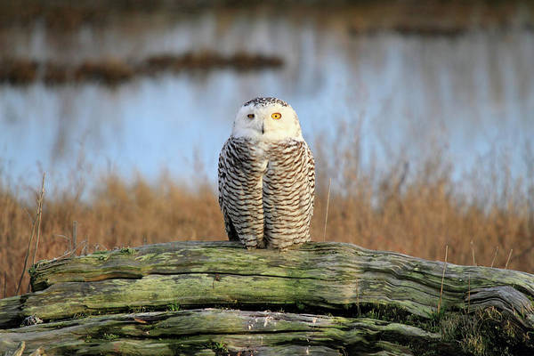 Photograph - Snowy Owl In British Columbia by Pierre Leclerc Photography