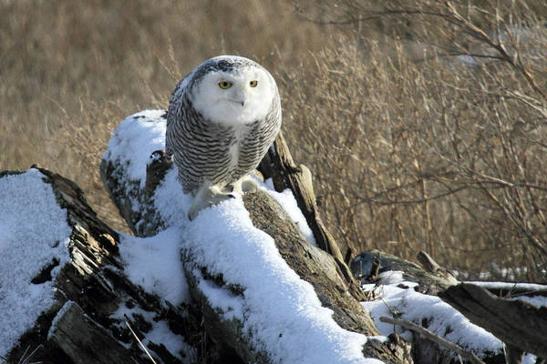 Photograph - Snowy Owl In The Snow by Pierre Leclerc Photography