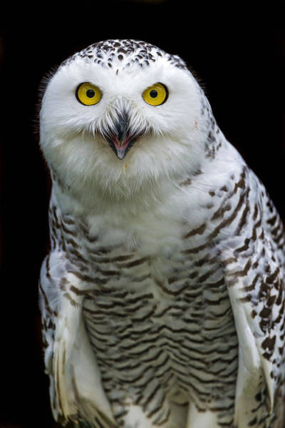 Wall Art - Photograph - Snowy Owl Looking At Me With Open Mouth by Picture by Tambako the Jaguar