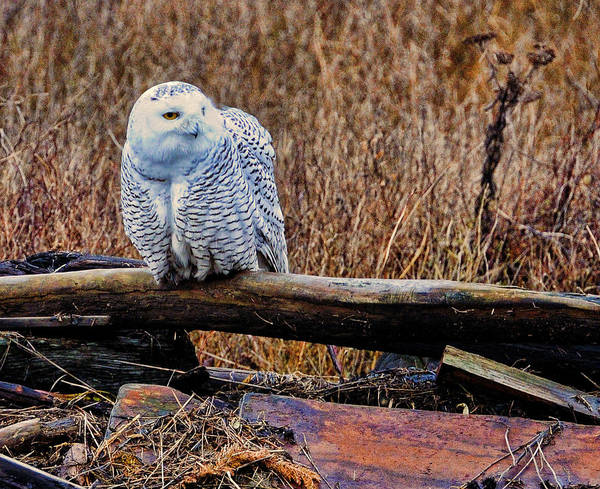 Photograph - Snowy Owl One by Lawrence Christopher