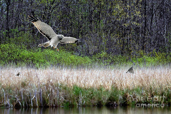 Photograph - Snowy Owl Searching Food by Dan Friend
