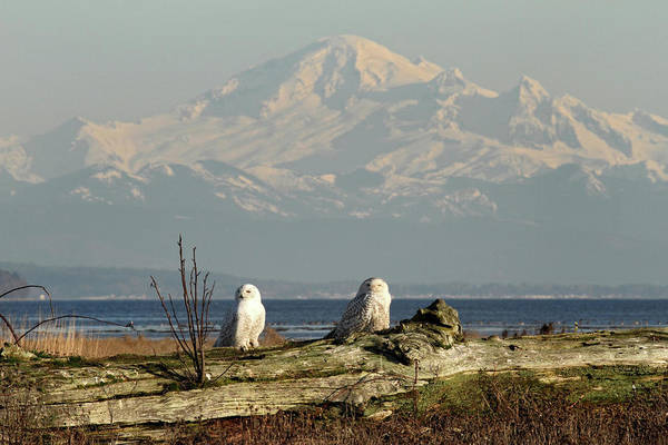 Photograph - Snowy Owls In Boundary Bay B.c by Pierre Leclerc Photography