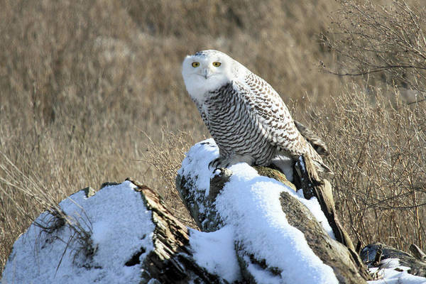 Photograph - Snowy Owls Of Boundary Bay Vancouver  B.c by Pierre Leclerc Photography