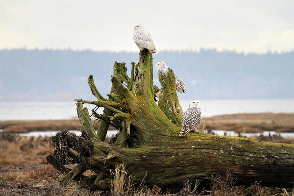 Photograph - Snowy Owls by Pierre Leclerc Photography