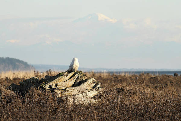 Photograph - Snowy Owls With Mount Baker by Pierre Leclerc Photography