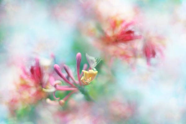 Honeysuckle Photograph - Soft As Honey by Sharon Johnstone