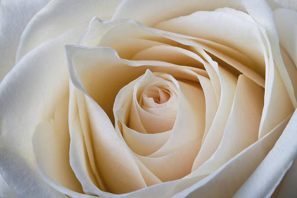 Photograph - Soft Creamy Rose by Clare Bambers