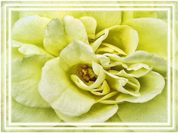 Photograph - Soft Light Yellow Rose - Stamens And Flower Petals Close-up - Macro Photography by Chantal PhotoPix