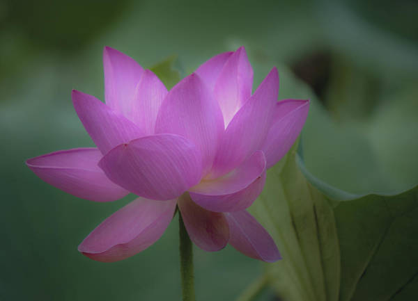 Photograph - Soft Lotus by Rick Hartigan