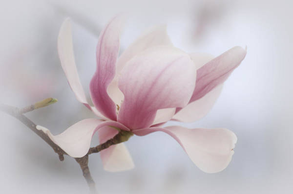 Saucer Magnolia Photograph - Softly by Sandy Keeton