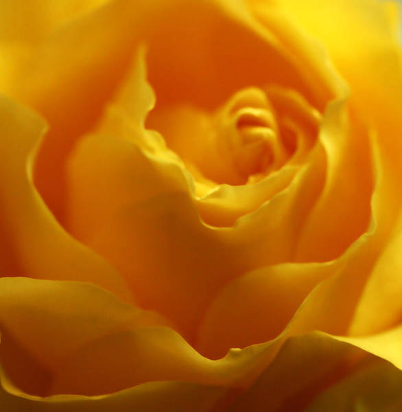Photograph - Softness In Yellows 2 by Marilyn Hunt