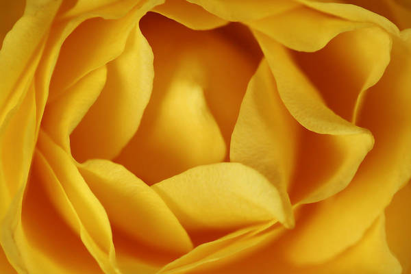 Photograph - Softness In Yellows by Marilyn Hunt