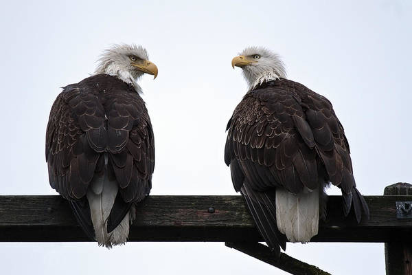 Photograph - Soggy Eagle Pair by Wes and Dotty Weber