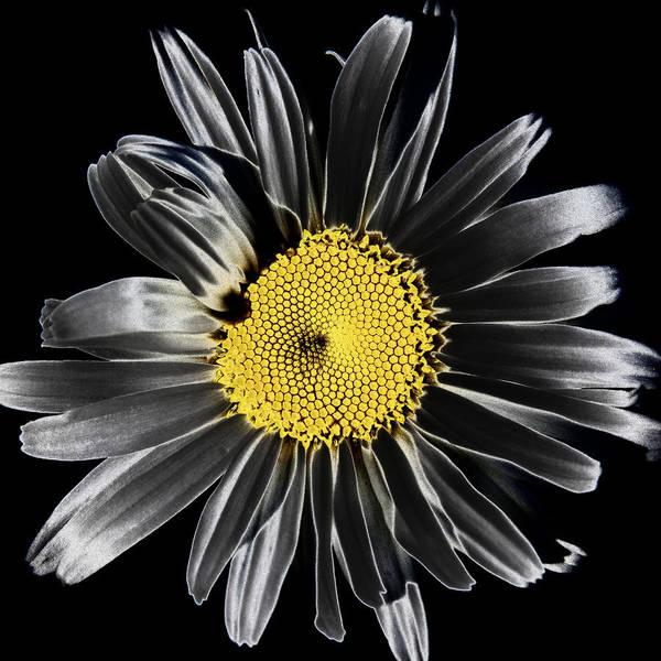 Solarized Photograph - Solarized Daisy by David Patterson