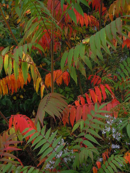 Photograph - Song Of Foliage by Nancy Griswold