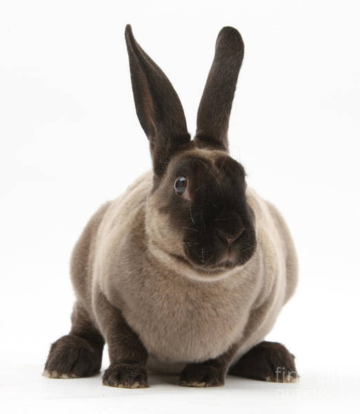Photograph - Sooty Rex Rabbit by Mark Taylor