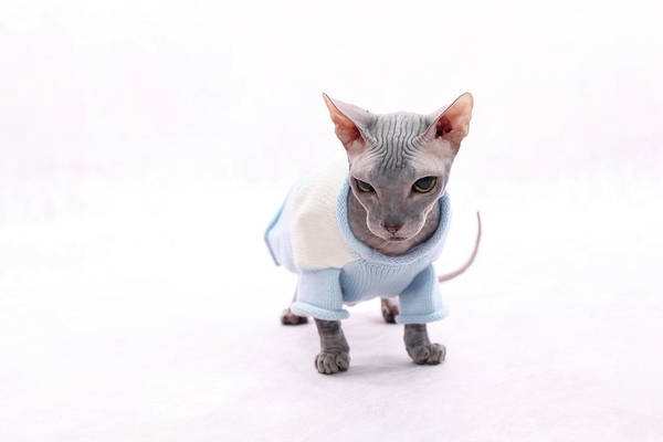 Wall Art - Photograph - Sphynx Hairless Cat. by With love of photography