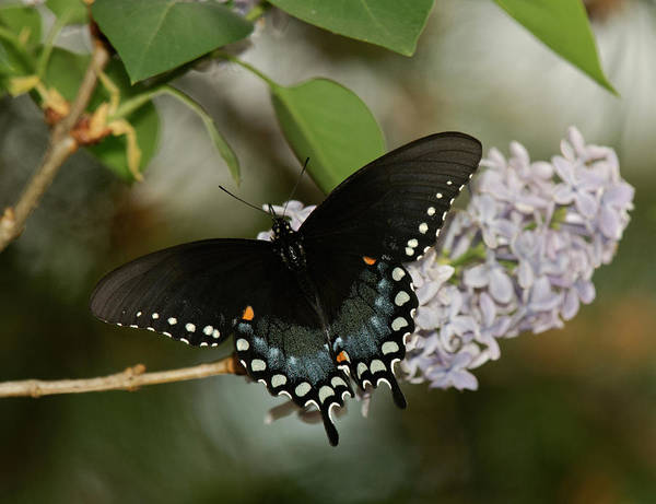 Photograph - Spice Bush Swallowtail On Lilac by Lara Ellis