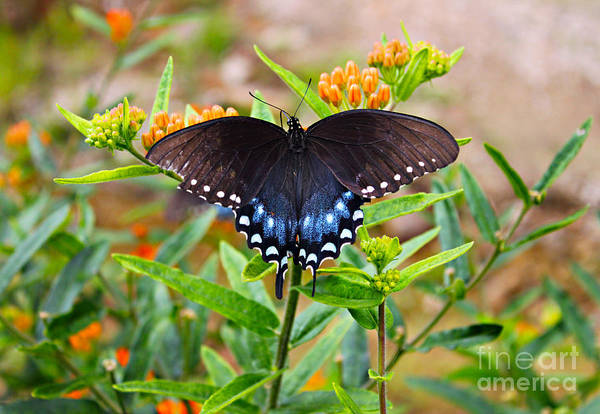 Wall Art - Photograph - Spicebush Swallowtail Butterfly by Lena Auxier