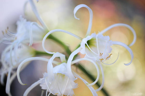 Spider Lily Wall Art - Photograph - Spider Lily 3 by Heidi Smith