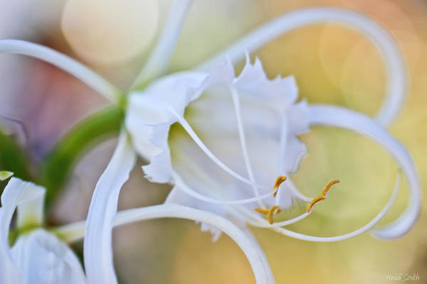 Spider Lily Wall Art - Photograph - Spider Lily by Heidi Smith