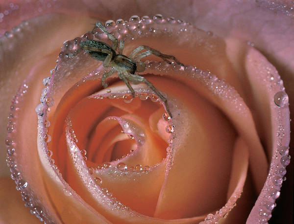 Photograph - Spider On Rose by Steve Zimic