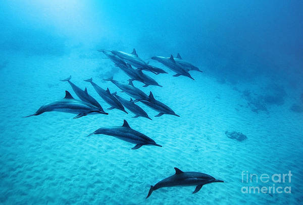 Dolphin Photograph - Spinner Dolphins Blue by Michael Swiet