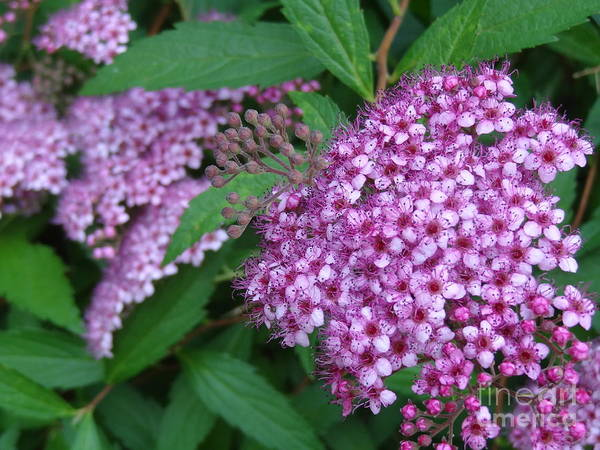 Photograph - Spirea by Laurel Best