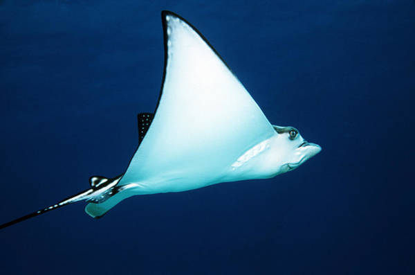 Eagle Ray Photograph - Spotted Eagle Ray by Georgette Douwma