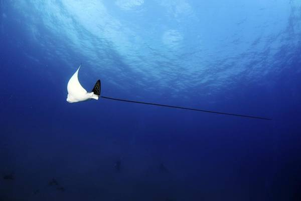 Eagle Ray Photograph - Spotted Eagle Ray by Photostock-israel
