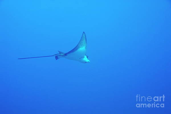 Wall Art - Photograph - Spotted Eagle Ray by Sami Sarkis