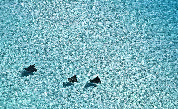 Eagle Ray Photograph - Spotted Eagle Rays 1 by Patrick M Lynch