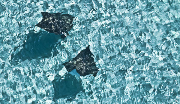 Eagle Ray Photograph - Spotted Eagle Rays 2 by Patrick M Lynch