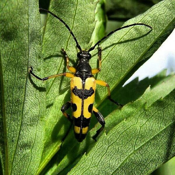 Beer Wall Art - Photograph - Spotted Longhorn #beetle #barnstaple by Robin Beer