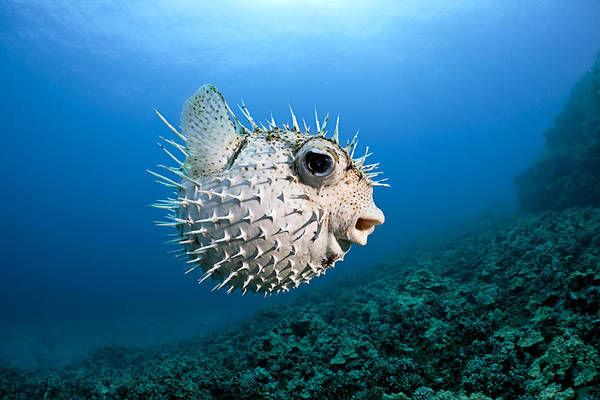 Diodon Photograph - Spotted Porcupinefish by Dave Fleetham