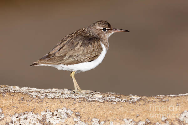 Scolopacidae Photograph - Spotted Sandpiper by Clarence Holmes