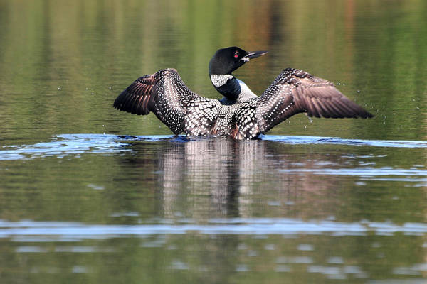 Photograph - Spread Eagle Loon by Peter DeFina