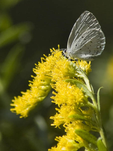 Photograph - Spring Azure And Goldenrod by Wade Clark