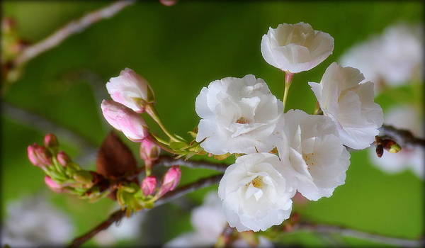 Photograph - Spring Beauty by Rima Biswas