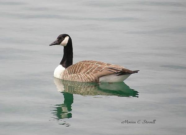 - Spring Collection - Goose In Bay Harbor by Monica C Stovall