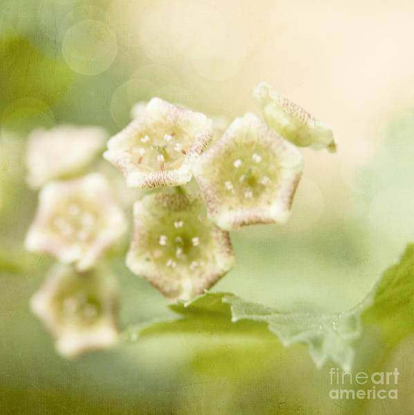 Photograph - Spring Currant Blossom by Agnieszka Kubica