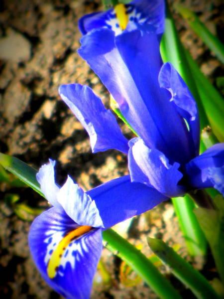 Photograph - Spring Flower by Anita Burgermeister