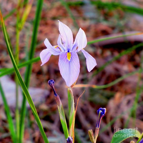 Photograph - Spring Iris by Marilyn Smith