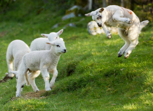 Lamb Photograph - Spring Lambs Springing by Ian Hufton