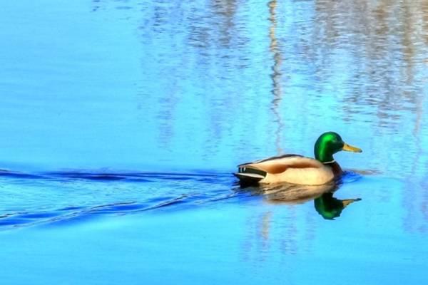 Greenhead Photograph - Spring Mallard by Mark Hinrichs