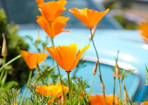 Photograph - Spring Poppies by Margaret Pitcher