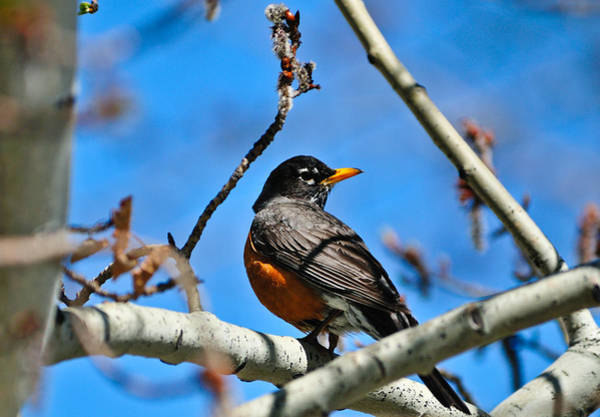 Photograph - Spring Robin by Greg Norrell