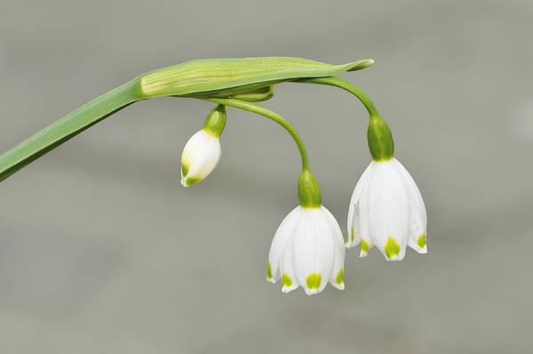 Photograph - Spring Snowflake Leucojum Vernum by Matthias Hauser