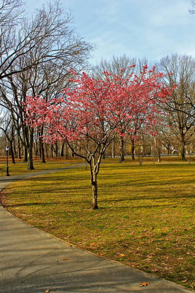 Spring Tree Blooms  Art Print